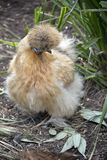Silkie chicken Stock Photography
