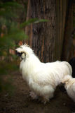 Silkie Royalty Free Stock Image