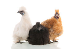 Silkie chickens Royalty Free Stock Photos