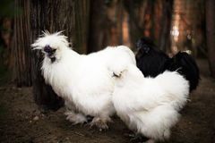 Silkie hen Royalty Free Stock Photos