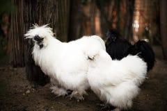 Silkie hen Royalty Free Stock Photos