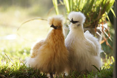 Silkie hens. Two silkie hens - one buff and one white - foraging in the backyard Royalty Free Stock Images