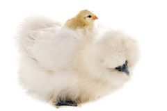 Silkie and his chick Stock Photo