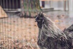 Silkie-Huhn: grauer Hahn Silkie - ein ungewöhnliches Zuchtgeflügel stockfotos