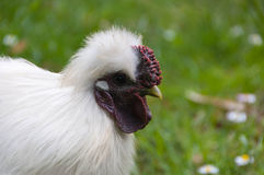 The silkie rooster Stock Photos