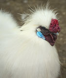 Silkie rooster Stock Image