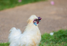 Silkie rooster. Walking around the hotel in Phuket (Thailand Stock Photos