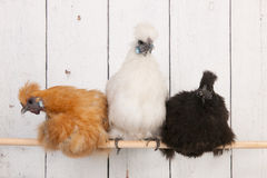 Silkies chickens in henhouse. On stick stock photo