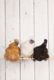 Silkies chickens in henhouse. On stick Royalty Free Stock Photography
