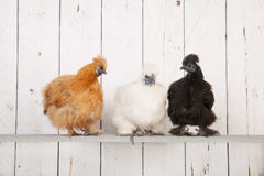 Silkies chickens in henhouse Royalty Free Stock Images