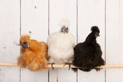 Silkies dans le poulailler Photos stock