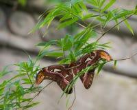 Silkmoth Ceanothus в дереве Стоковые Изображения RF