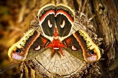 Silkmoth de Tejas Imagen de archivo libre de regalías