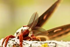 Silkmoth de Tejas Foto de archivo libre de regalías
