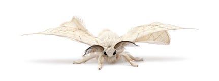 Silkmoth domesticado, mori do Bombyx imagens de stock royalty free