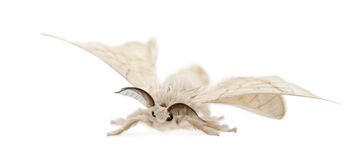 Silkmoth domesticado, mori do Bombyx Foto de Stock