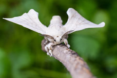 Silkmoth on a wooden stick. A silkmoth is holding on a wooden stick royalty free stock photography