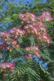 Silktree na flor Fotografia de Stock