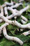 Silkworm�Bombyx mori Linaeus Royalty Free Stock Photography