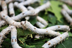 Silkworm,Bombyx mori Linaeus. On mulberry leaves for silkworm food to silking cocooning of economic insects. The case of Lepidoptera, Bombycidae Branch Stock Images