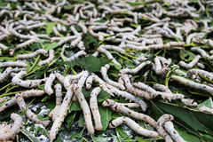 Silkworm,Bombyx mori Linaeus Royalty Free Stock Photography
