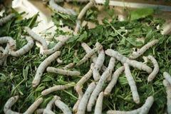 Silkworm Royalty Free Stock Image