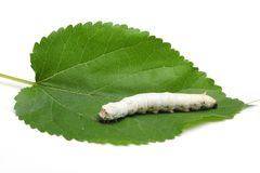 Silkworm Royalty Free Stock Photos
