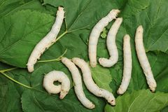 Silkworm Royalty Free Stock Image