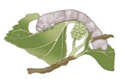 silkworm Royaltyfria Bilder