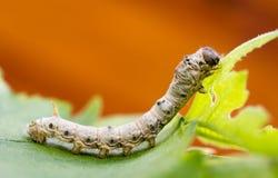 silkworm Fotografía de archivo libre de regalías