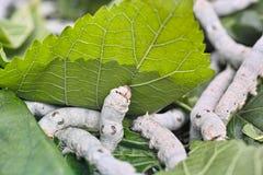 silkworm Photo libre de droits