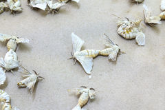 Free Silkworm Butterflies Royalty Free Stock Image - 29066476