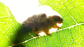 Silkworm caterpillar eating leaf at green tree in summer garden. Close up one silkworm on background green foliage tree in forest. Silkworm gnawing on leaves stock footage
