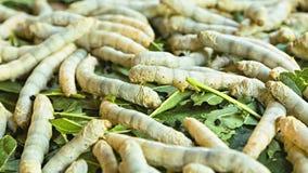 Silkworm caterpillars ready for pupation closeup stock video