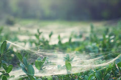 Silkworm cobweb Royalty Free Stock Photography
