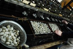 Silkworm cocoon. Processing silkworm cocoon in a silk factory Stock Photography
