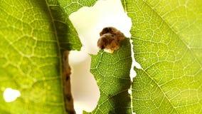 Silkworm devouring leaf green tree in garden. Caterpillar eating leaf at tree
