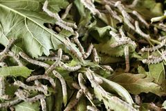 Silkworm eating mulberry green leaf Stock Image