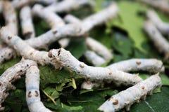 silkworm för bombyxlinaeusmori Arkivbilder