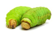 Silkworm. Isolated  on white background Stock Photos