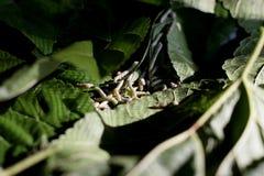 Silkworm larvae Stock Image