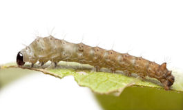 Silkworm larvae, Bombyx mori Stock Photos