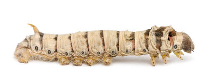 Silkworm larvae, Bombyx mori Royalty Free Stock Photo