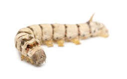 Silkworm larvae, Bombyx mori Royalty Free Stock Photography