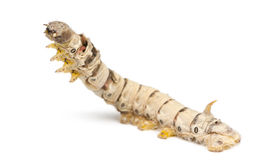 Silkworm larvae, Bombyx mori Royalty Free Stock Images