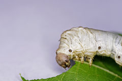 Silkworm larvae Stock Photos