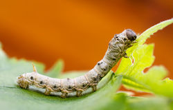 Silkworm. Macro photo of a silkworm eating a mulberry leaf. room for text Royalty Free Stock Photography