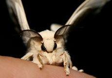 Silkworm moth on top of a finger Stock Image