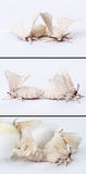 Silkworm moths mating. Two silkworm moths mating collection in white background Stock Photo