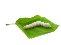 Silkworm in mulberry leaf Stock Image